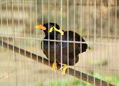 Common Myna Bird (acridotheres Tristis)