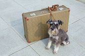 stock photo of schnauzer  - Traveling miniature schnauzer sits beside his suitcase - JPG