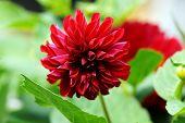 Dahlia Flower.