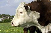 stock photo of hereford  - A head profile of a Hereford Bull in field ithe ring in nose - JPG