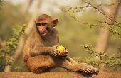 Rhesus Macaque Eating An Apple, New Delhi