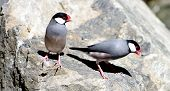picture of java sparrow  - a pair of Java Sparrows  - JPG