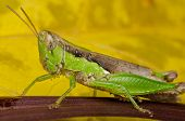 grasshopper perching on a leaf with yellow background