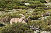 foto of nubian  - Standing alpine ibex, wild animal living in high altitude