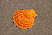 Single Orange Shell