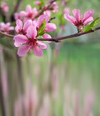 Spring background with blossoming peach