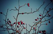 picture of wild-brier  - Rosehip berries on the twig - JPG