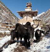 image of yaks  - Group of yaks and village in Lower Dolpo  - JPG