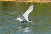 Caspian Tern Scooping Up A Drink Of Fresh Water In Flight