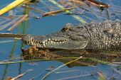 West African Crocodile Resting In The Water On Floating Reeds