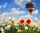Field with blooming white buttercups. Flying over flowers huge multicolored balloon. Spring in the south