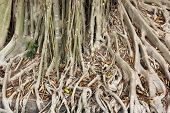 Close Up Root Of Banyan Tree