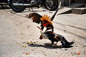 picture of fighting-rooster  - Cock fighting in the Mekong delta - JPG
