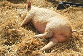 stock photo of piglet  - kune kune piglet sleeping on fresh straw - JPG