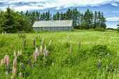 Lupins and wildflowers growing in the countryside of rural Prince Edward Island, Canada.