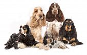 Group English Cocker Spaniels and American Cocker Spaniel dogs in front of white background