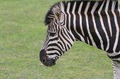 Chapman's Zebra (equus Quagga Chapmani)