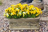 stock photo of trough  - Yellow winter flowering pansies in stone trough - JPG