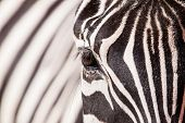 stock photo of herbivore animal  - Portrait of zebra in ZOO in Czech Republic - JPG