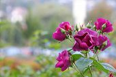 Closeup of beautiful Purple Roses in the garden
