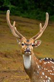 Spotted deer / chital