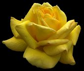 Yellow Rose (clipping Path)