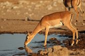 Impala antelope (Aepyceros melampus) drinking at a waterhole, Etosha National Park, Namibia