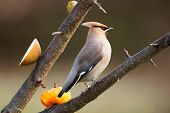 stock photo of bohemian  - Bohemian Waxwing  - JPG