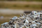 Oyster Shell Pile