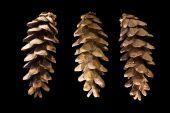 3 Cones Of Eastern White Pine (pinus Strobus)