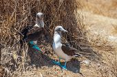 Family Portrait Of Blue-footed Boobies