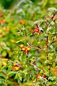 Rosehip Berries On A Bush