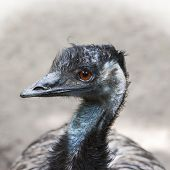 picture of ostrich plumage  - Portrait of Emu  - JPG