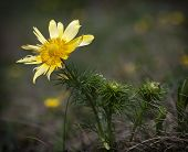 Pheasant's Eye (adonis Vernalis) In Spring Meadow