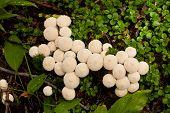 Common Puffball Mushrooms Lycoperdon Perlatum