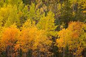 Yukon Boreal Forest Taiga Yellow Fall Aspen Trees