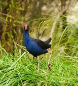 New Zealand Pukeko, a native bird in the wild
