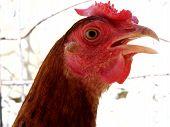 closeup of beautiful Creole chicken Venezuela