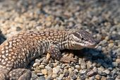 Ridge-tailed Monitor Lizard