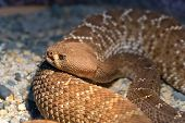 Red Diamond Rattlesnake