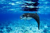foto of manta ray  - Manta ray filter feeding in the blue Komodo waters - JPG