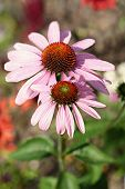 Echinacea, Commonly Known As Coneflower