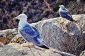 stock photo of costa blanca  - Seagulls at top of the famous Penon de Ifach mountain in Calpe - JPG