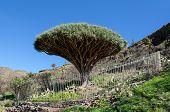 La Gomera - Dragon tree El Drago