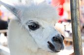 picture of alpaca  - White alpaca at the zoo closeup shot - JPG