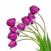 dewy purple tulips