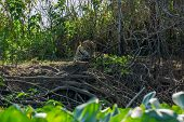 Front view of wild Jaguar standing in riverbank, Pantanal, Brazil