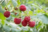 Bright Juicy Raspberries In The Summer Forest