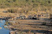 Zebra Herd Drinking Water