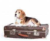 stock photo of pity  - Little beagle puppy on the old suitcase - JPG